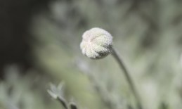 A flower button ready to blossom