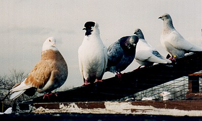 The pigeons, a group shot.