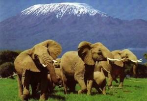 Elefanti di fronte al Kilimangiaro