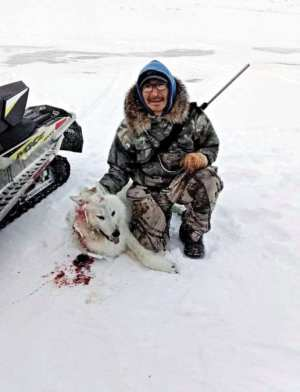 """1102Scott Qiyuk Scott Qiyuk Baker Lake I've seen many wolves in my lifetime of hunting, but never caught any of them, but this one was taking our caribou meat so I had to shoot it down. My parents Silas and Mariam Qiyuk who lived a nomadic life had to shoot and catch a wolf in order to survive, which is the reason I had never caught a wolf before to show my gratitude toward the animal, I once heard of the same story about not wanting to catch a certain animal but he thought, """"if I catch it their spirit will finally eat!"""" So, in that same thought I caught this wolf so my parents spirit could finally eat!"""