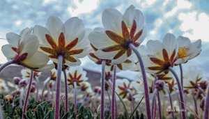 0104Sarah Meeko1.jpg Sarah Meeko Sanikiluaq Nice view of mountain aven flowers.