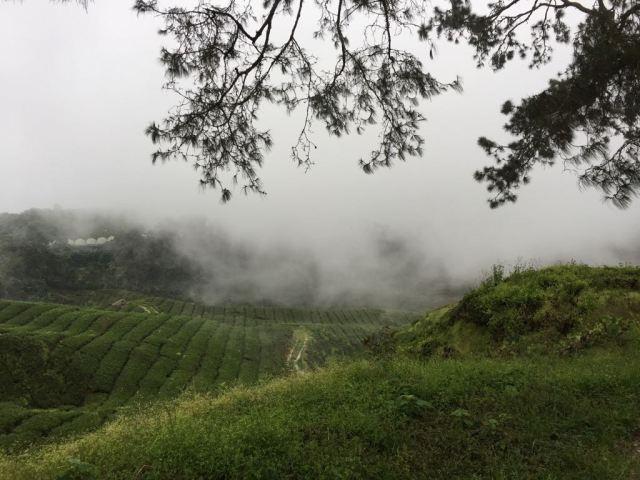 Montañas de té entre niebla