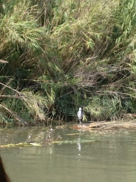 Garza real haciendo guardia en la orilla a la espera de peces