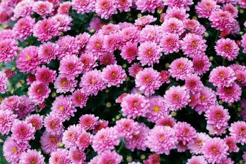 Nemokamos nuotraukos gėlės fono paveiksliukas rožinis paieška ...