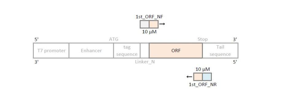 nterminus 1st PCR primer