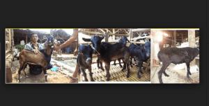 paket kambing aqiqah kota tangerang