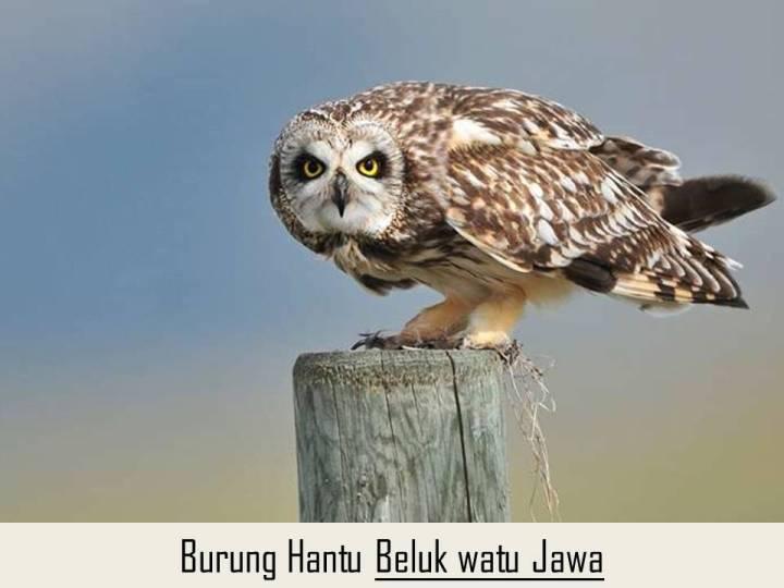 Burung Hantu Beluk Watu Jawa