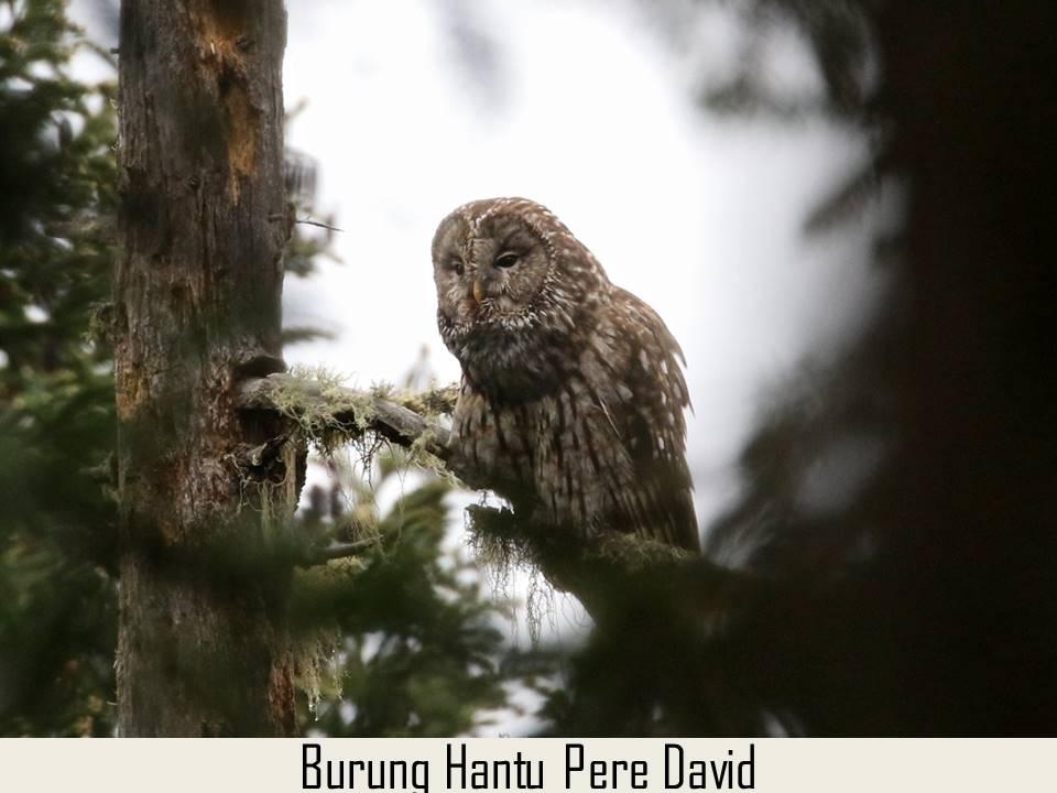 Burung Hantu Pere David