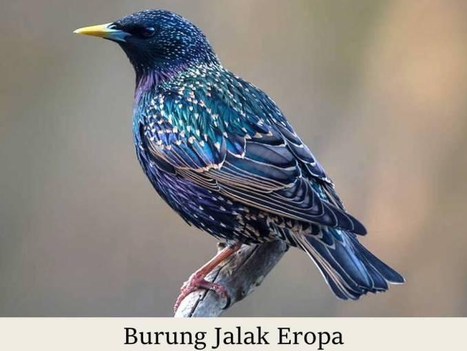 Burung Jalak Eropa