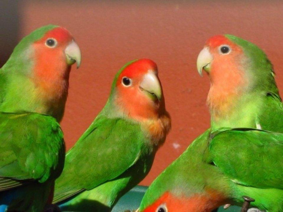 Jenis Lovebird Australian Cinnamon