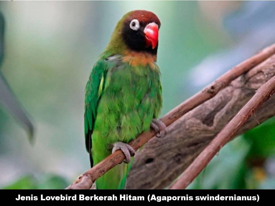 Jenis Lovebird Berkerah Hitam (Agapornis Swindernianus)
