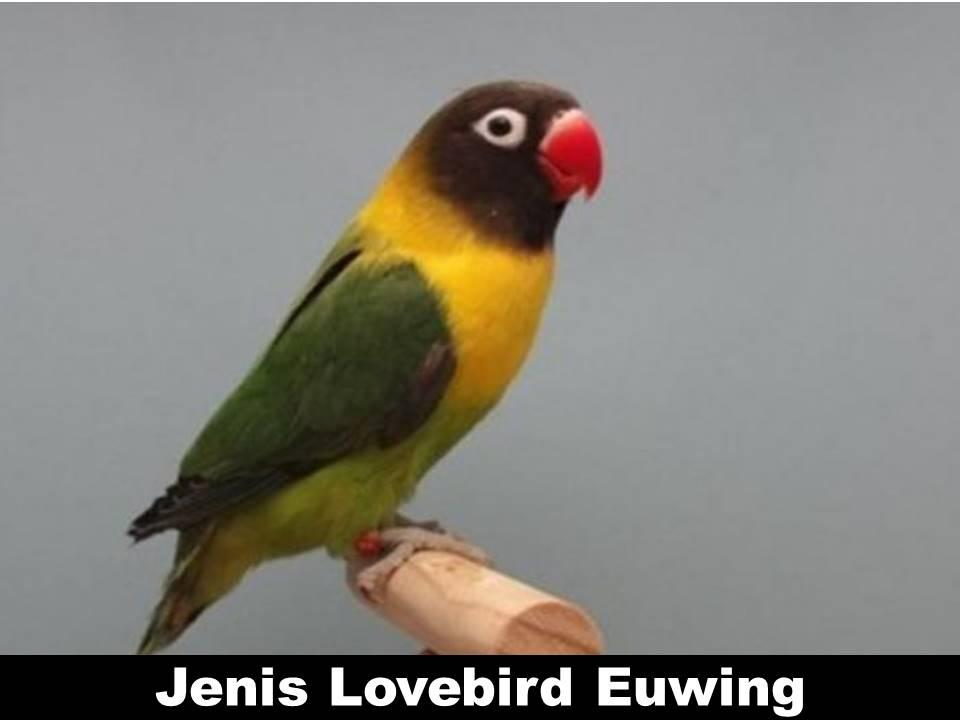 Jenis Lovebird Euwing