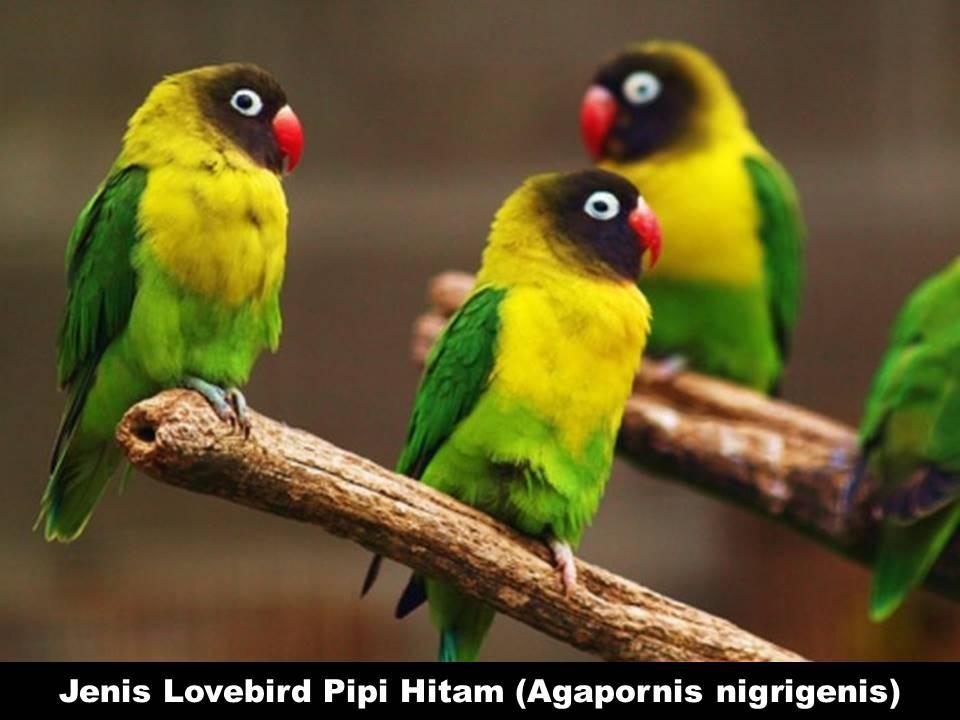 Jenis Lovebird Pipi Hitam (Agapornis Nigrigenis)