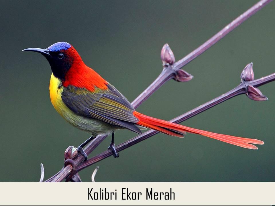 Kolibri Ekor Merah