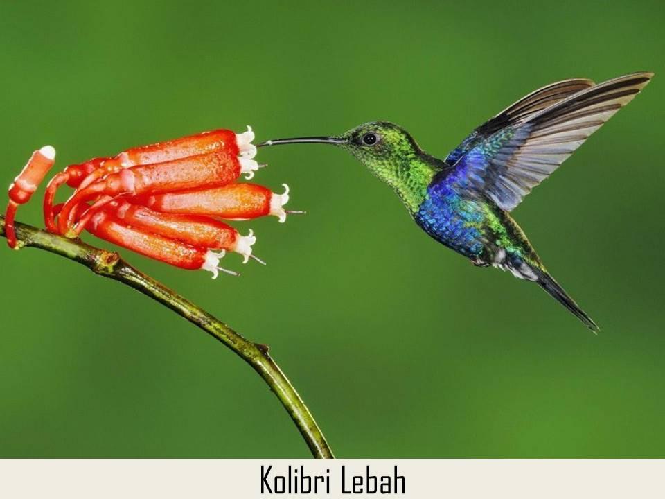 Kolibri Lebah