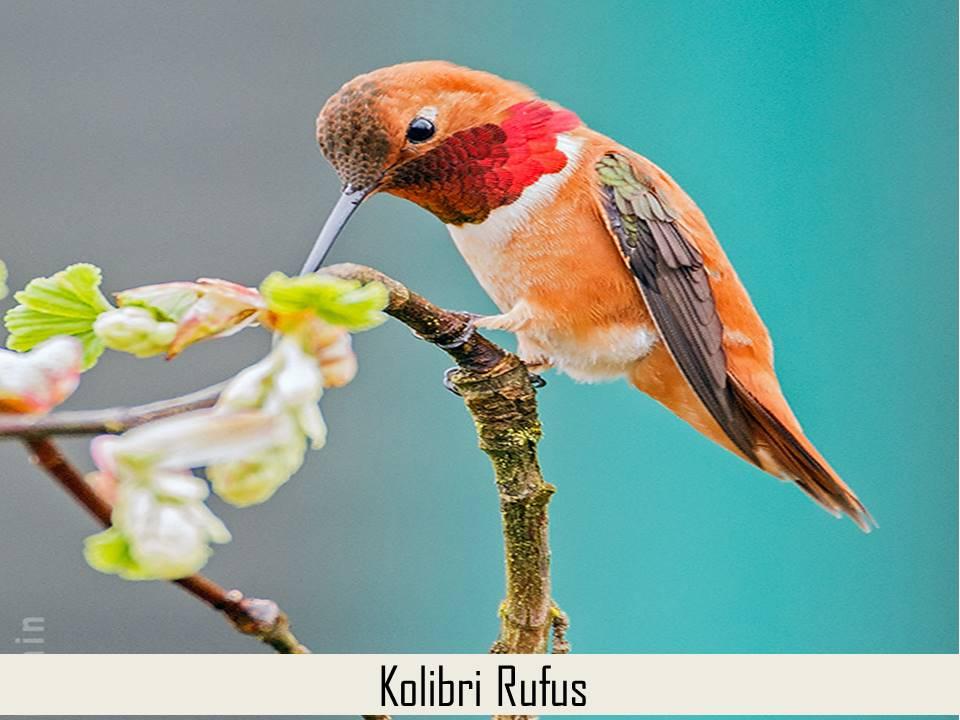 Kolibri Rufus