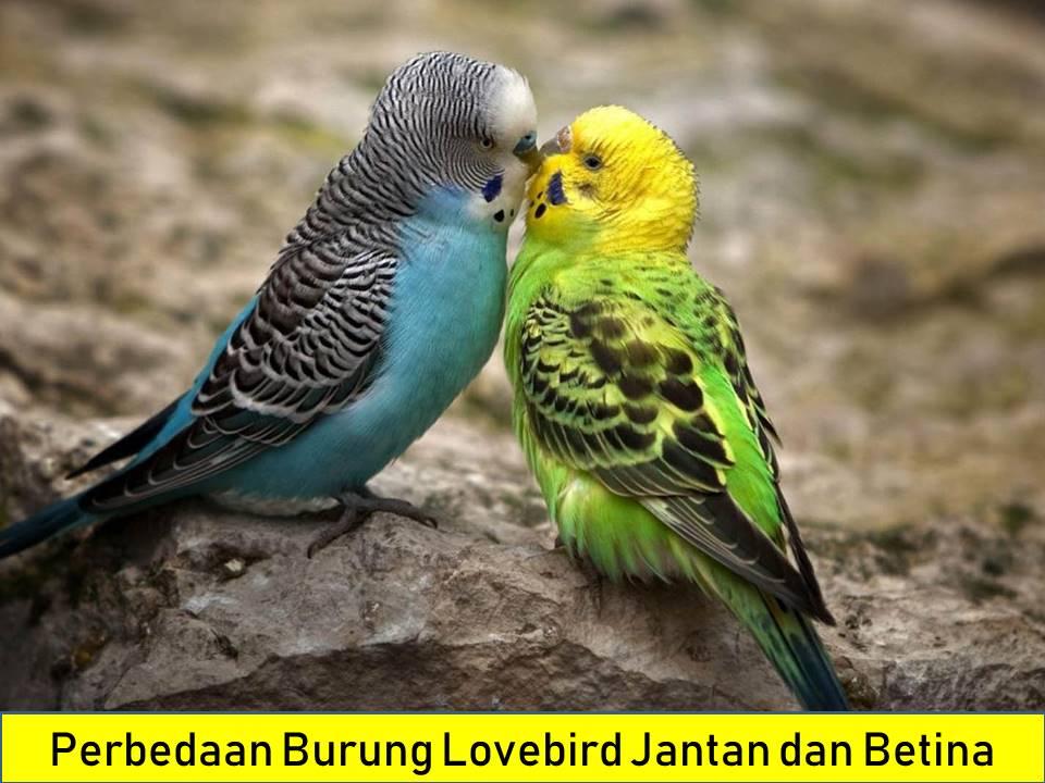 Membedakan Lovebird Jantan dan Betina