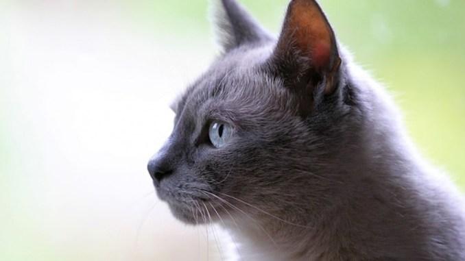 Nama Kucing Abu Abu
