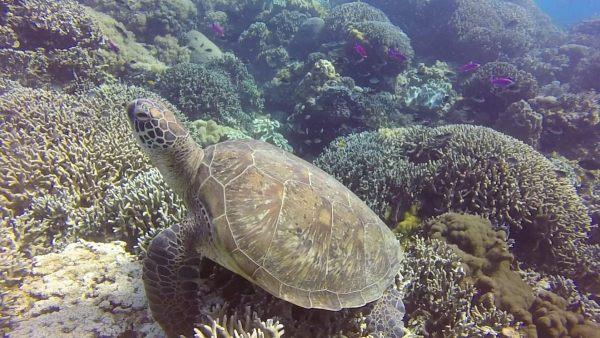 Tortuga Apo island buceo