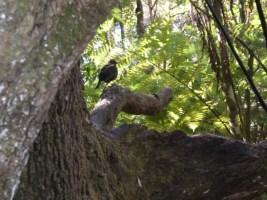 ציפור שיר בשמורת האי רנג׳יטוטו, בניו זילנד, Rangitoto Island NZ Photo: 8 Feb. 2008