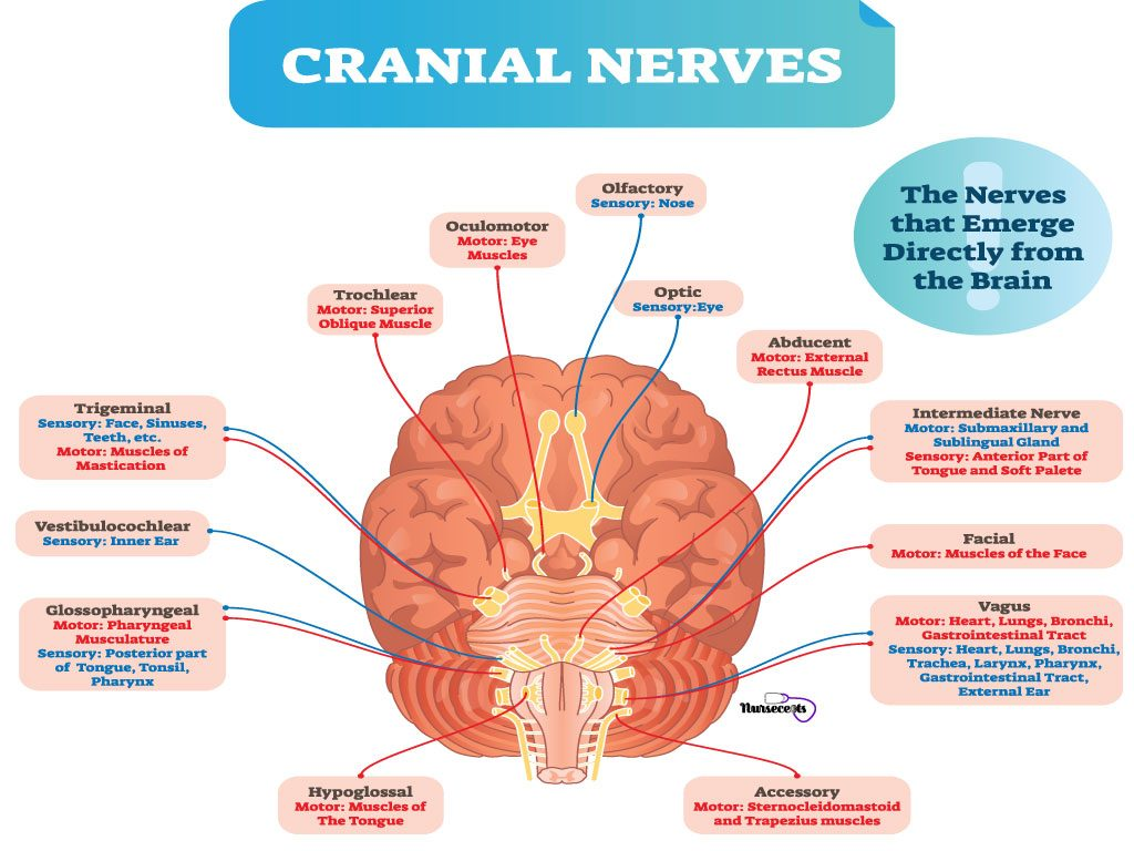 Cranial Nerves And Their Functions Worksheet
