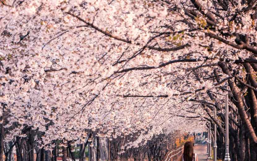 woman standing nearcherry blossom trees