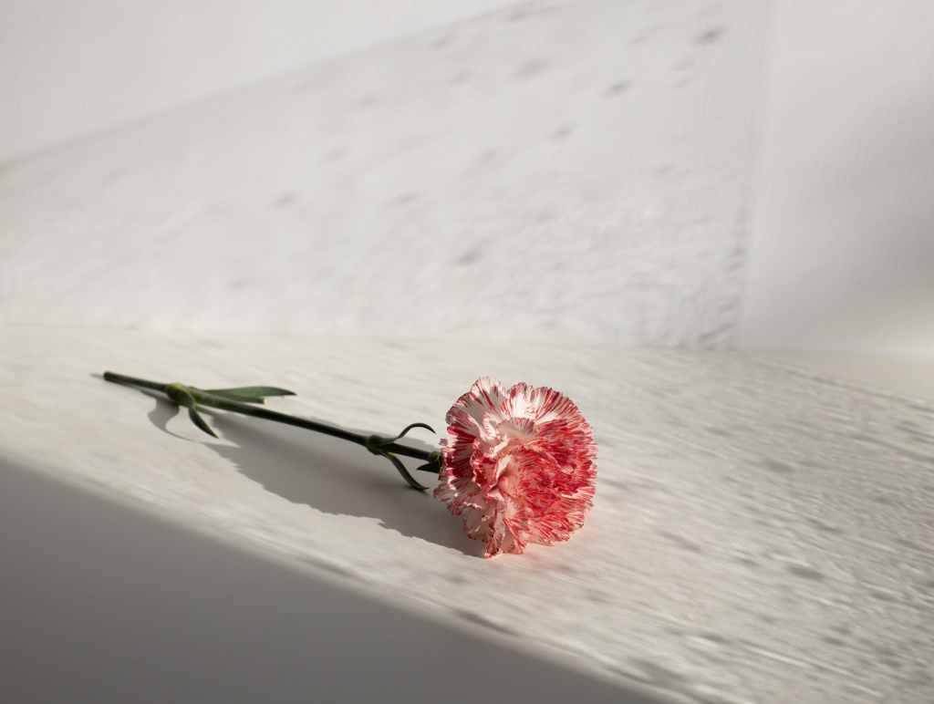 fragrant delicate carnation on white table