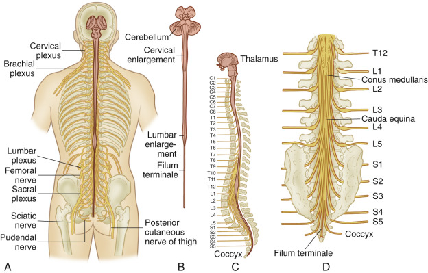 Neurologic System Nurse Key The filum terminale is a delicate strand of fibrous tissue, about 20 cm in length, proceeding downward from the apex of the conus medullaris. nurse key