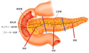 膵臓のイラスト