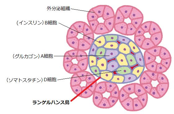 膵臓の機能イラスト