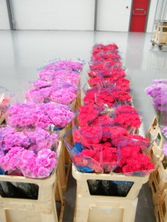 Winchester Cathedral flowers at Nursery Fresh warehouse