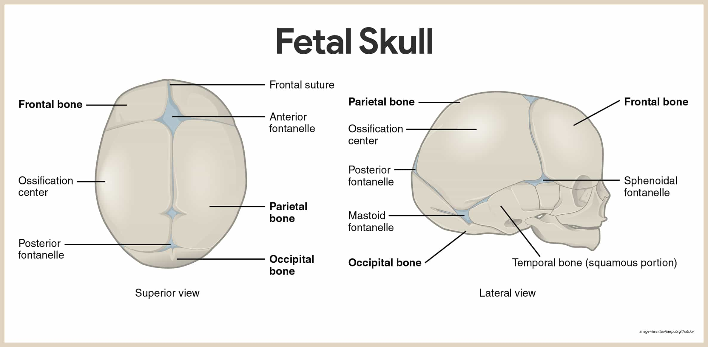 Skeletal System Skull Diagram