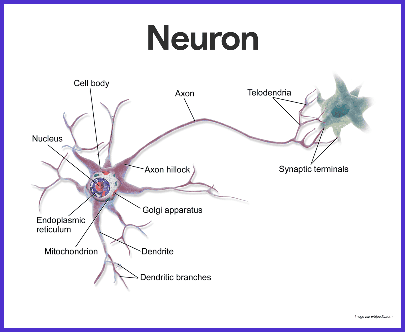 Nervous System Neuron Diagram