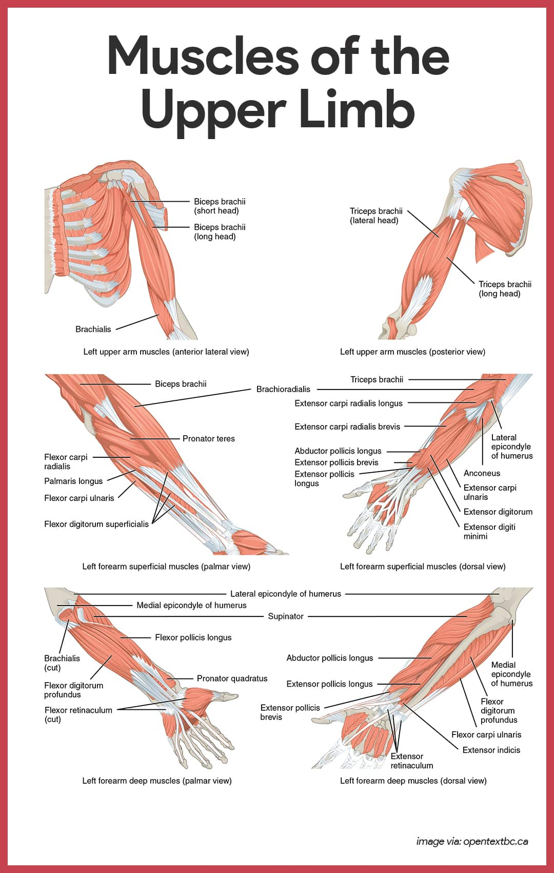 Muscular System Anatomy And Physiology
