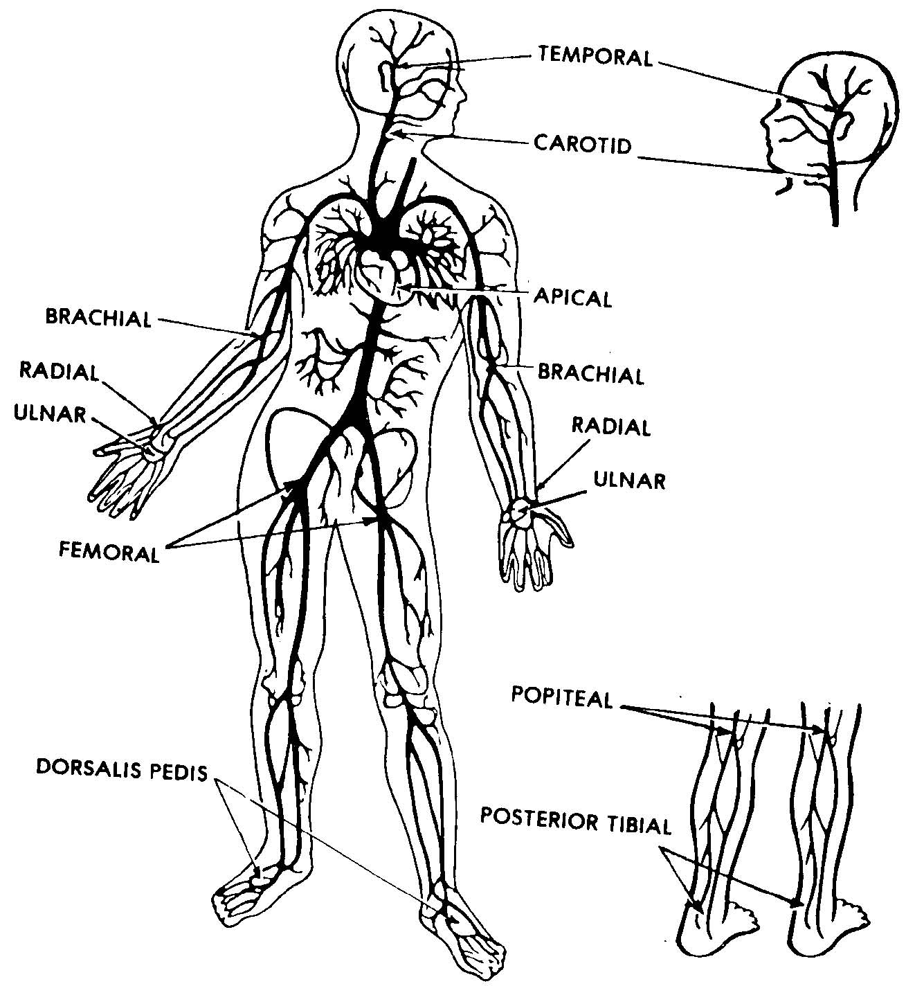 3 4 Which Artery Is Palpated When A Pulse Is Taken