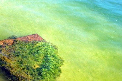 Picture of green spirulina plant under water