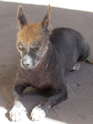 Photo of a dog with hair only on its head, laying in dirt with its eyes closed contentedly.