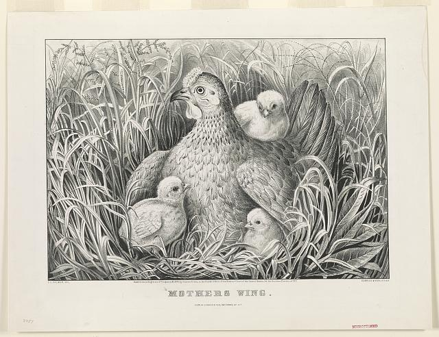 a black and white drawing of a mother hen sitting in a field with three chicks around her, one under her wing