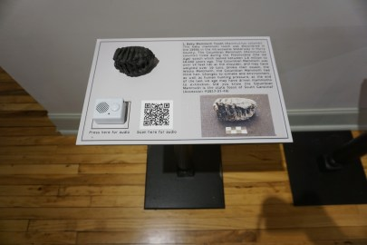A set of baby mammoth teeth on display - 3D-printed replica, anyway! Accompanied by a display that has an audio guide and a QR code for more info.