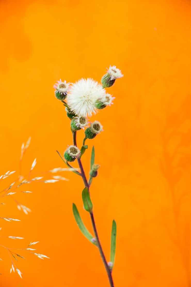 dandelion flower on orange background. they represent how your life can bloom with doing self work. Nurtured Well helps women in Maryland blossom through good mental health care.
