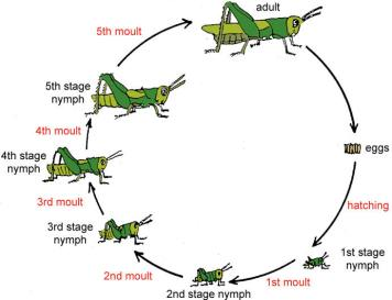 Grasshopper lifecycle from The Open Door website