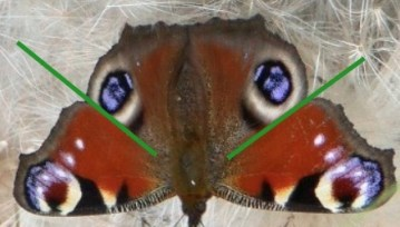 What to do with hibernating butterflies in your house