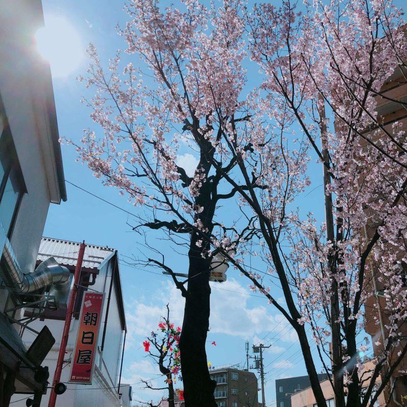 cherry blossoms galore; Cherry Blossoms Tree