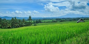 Hamparan sawah/Foto via flicker