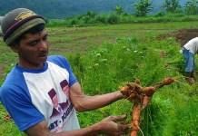 Foto Ilustrasi, Petani wortel tampak menunjukkan hasil tanamannya. Foto via okezone