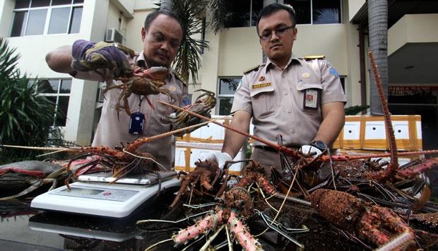 Lobster hasil penyelundupan berhasil diamankan/Foto via tempo