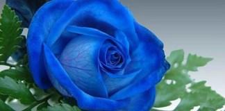 Mawar biru. Foto: weneedfun.com