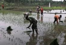 Anggota TNI dampingi petani tanam padi pola jajar legowo (Foto Istimewa/Nusantaranews.co)