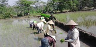 Babinsa Gandusari Tanam Padi membantu petani menanam padi. Foto: Amrin/Dok. Istimewa