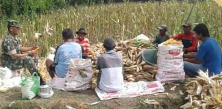 TNI Pertahankan Produksi Jagung Ponorogo Bersama Petani. Foto Muh Nurcholis/ NusantaraNEws